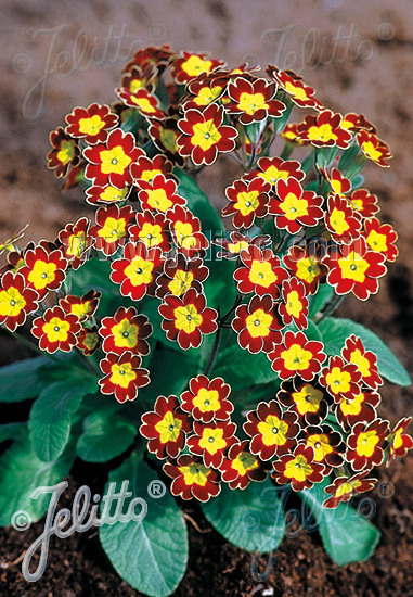PRIMULA Elatior-Hybr.  'Victoriana Gold Lace Red' Portion(s)