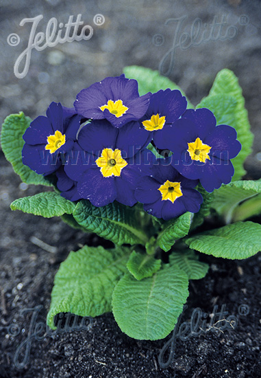 PRIMULA elatior Crescendo®-Series 'Crescendo® Blue Shades' Portion(s)