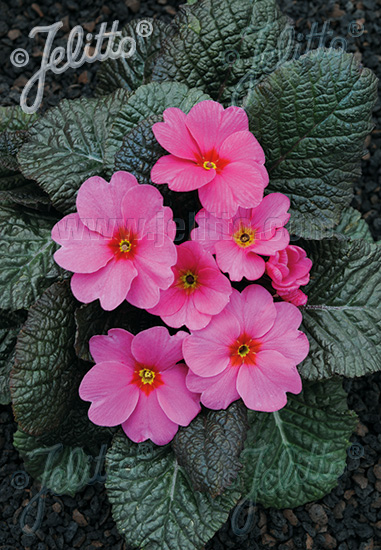 PRIMULA Wanda-Hybr. (Orig. Niederlenz) 'Wanda Dark-pink' Portion(s)