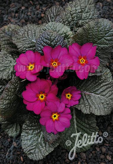 PRIMULA Wanda-Hybr. (Orig. Niederlenz) 'Wanda Lilac Colors' Portion(s)