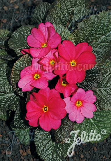 PRIMULA Wanda-Hybr. (Orig. Niederlenz) 'Wanda Raspberry Red Shades' Portion(s)
