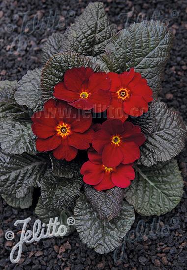 PRIMULA Wanda-Hybr. (Orig. Niederlenz) 'Wanda Velvet Red Shades' Portion(s)