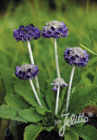 PRIMULA capitata  'Salvana'(TM) Portion(s)