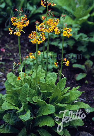 PRIMULA chungensis   Portion(s)
