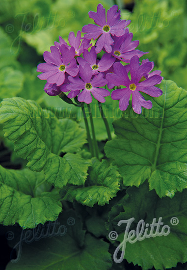 PRIMULA cortusoides hort.  'Primadiente Rose'(TM) Portion(s)