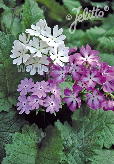 PRIMULA sieboldii   Portion(s)