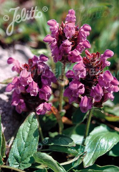 PRUNELLA grandiflora   Portion(s)