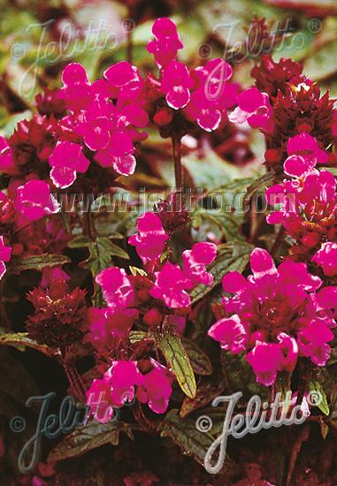 PRUNELLA grandiflora  'Rubra' Portion(s)