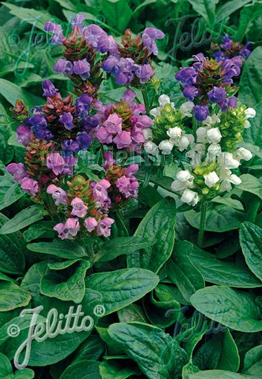 PRUNELLA grandiflora  'Freelander Mixed' Portion(s)