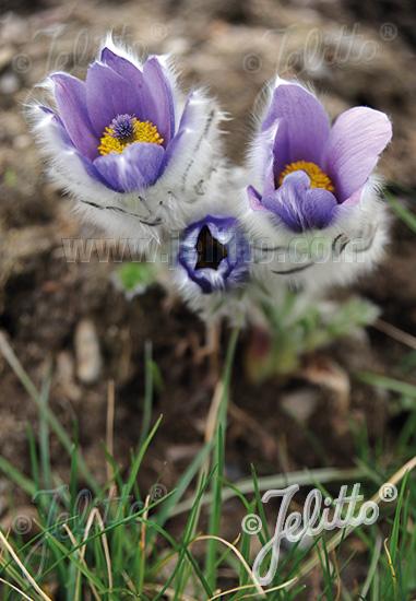PULSATILLA halleri ssp. taurica   Portion(s)