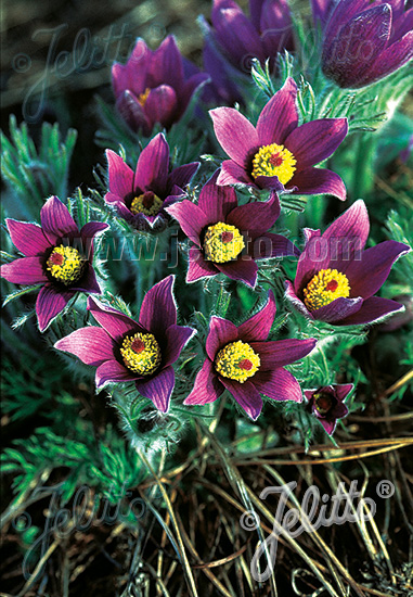 PULSATILLA vulgaris   Portion(s)