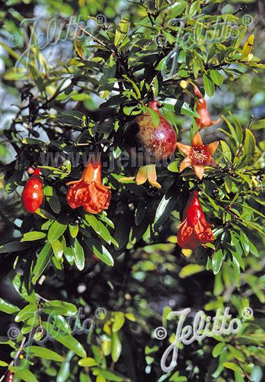 jelitto perennial seed punica granatum var nana portion s. Black Bedroom Furniture Sets. Home Design Ideas