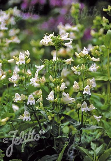 PENSTEMON serrulatus  'Albus' Seeds