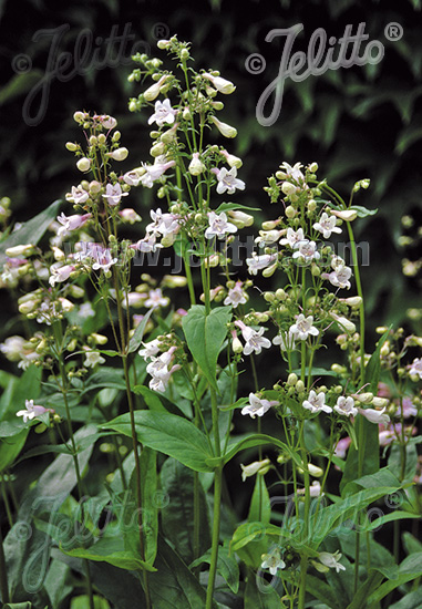 PENSTEMON digitalis   Korn