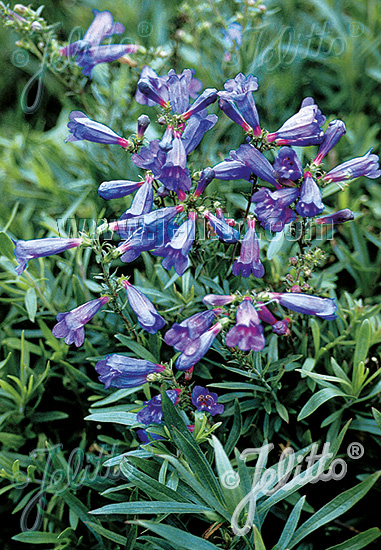 PENSTEMON heterophyllus  'Züriblau' Seeds