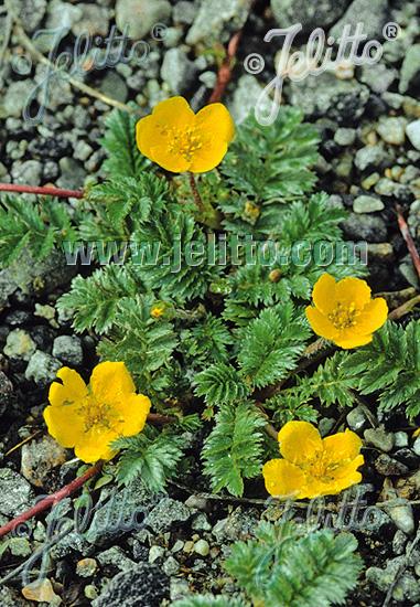 POTENTILLA anserina   Seeds