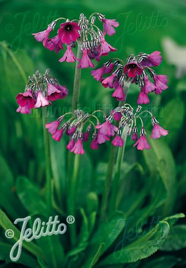 PRIMULA secundiflora   Seeds