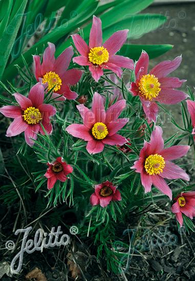 PULSATILLA vulgaris  'Rosen Glocke' Seeds