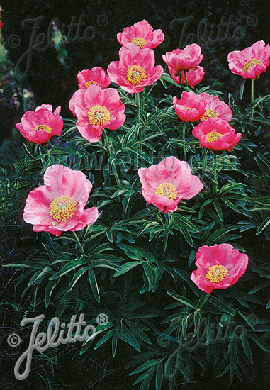 PAEONIA officinalis ssp. banatica   Portion(s)