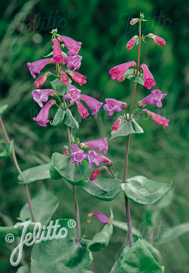PENSTEMON pseudospectabilis   Portion(en)