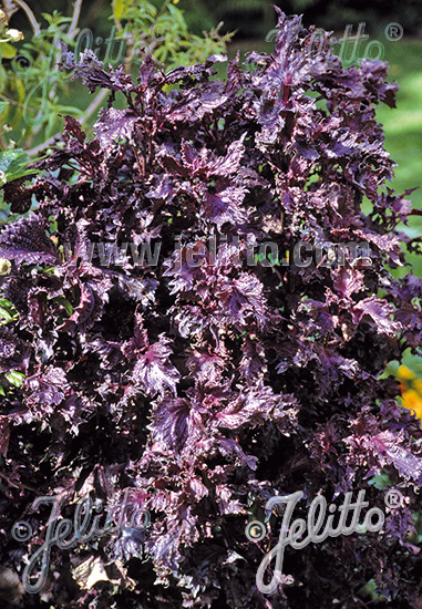 PERILLA frutescens var. crispa  'Red Shiso' Portion(s)