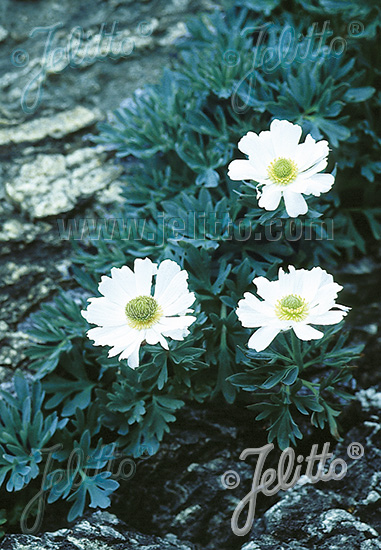 RANUNCULUS buchananii   Portion(en)