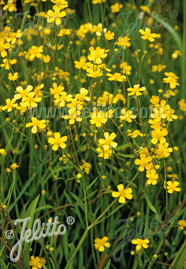 RANUNCULUS flammula   Portion(en)
