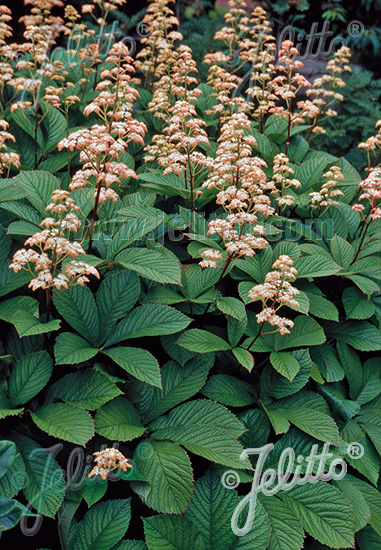 RODGERSIA pinnata   Portion(s)