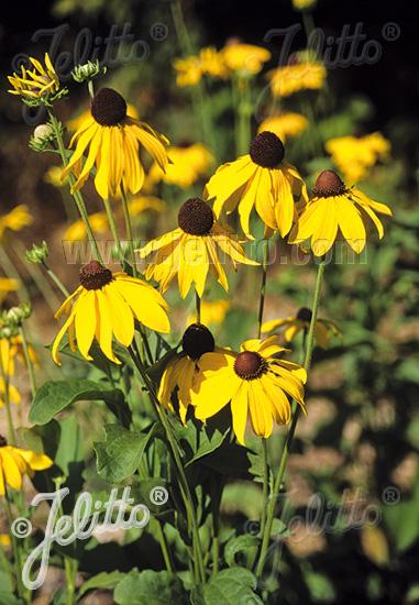 RUDBECKIA grandiflora  'Sundance' Portion(en)