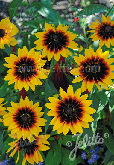RUDBECKIA hirta  'Denver Daisy' Portion(s)