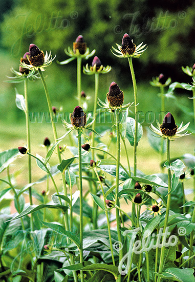 RUDBECKIA occidentalis   Portion(s)