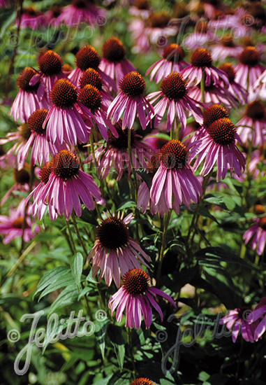 ECHINACEA purpurea   Portion(s)