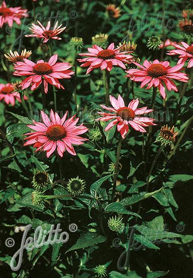 ECHINACEA purpurea  'Rubinstern' Portion(s)