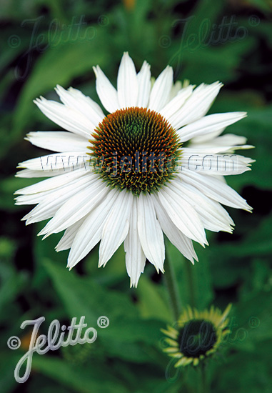 ECHINACEA purpurea  'Primadonna White' Portion(s)