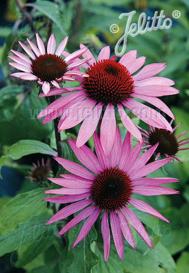 ECHINACEA purpurea  'Prairie Splendor' Portion(s)
