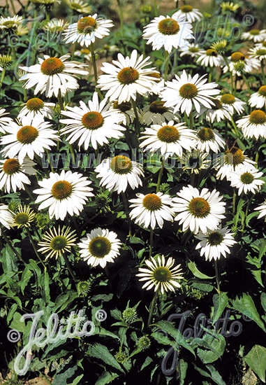 ECHINACEA purpurea  'Happy Star' Portion(s)
