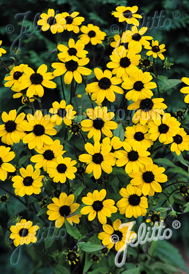 RUDBECKIA triloba  'Blackjack Gold' Portion(s)