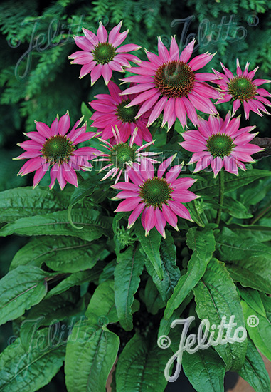 ECHINACEA purpurea  'PowWow® Wild Berry' Portion(s)