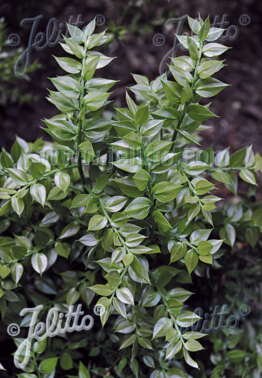 RUSCUS aculeatus   Portion(en)