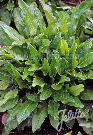 RUMEX acetosa   Portion(s)