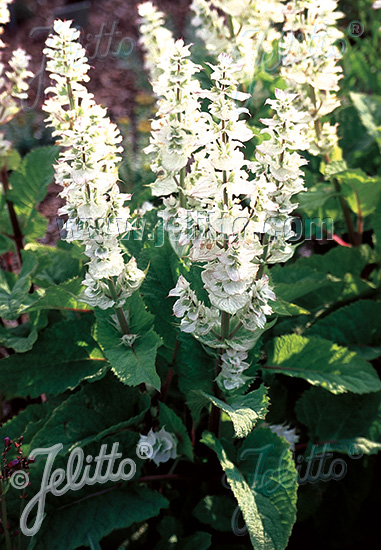 SALVIA sclarea var. turkestanica  'Vatican White' Portion(en)