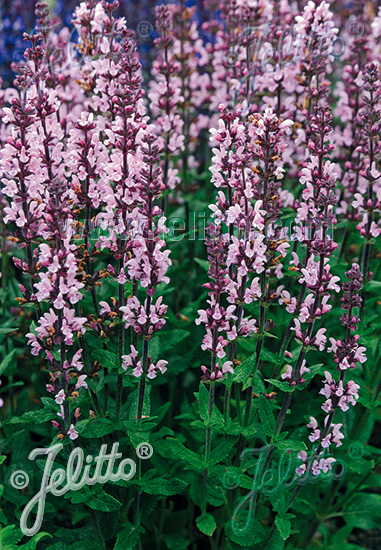 SALVIA nemorosa  'Merleau Rose' Portion(s)
