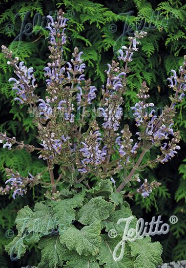 SALVIA moorcroftiana x indica  'Shangri-La' Portion(en)