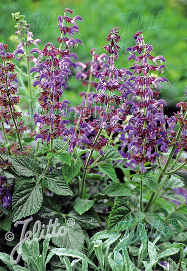 SALVIA miltiorrhiza  'BLBP 01' Portion(s)