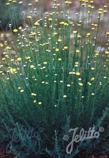 SANTOLINA rosmarinifolia   Portion(s)