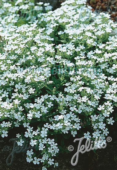 SAPONARIA ocymoides  'Snow Tip' Portion(s)