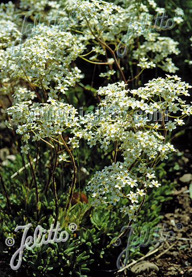 SAXIFRAGA hostii   Portion(s)