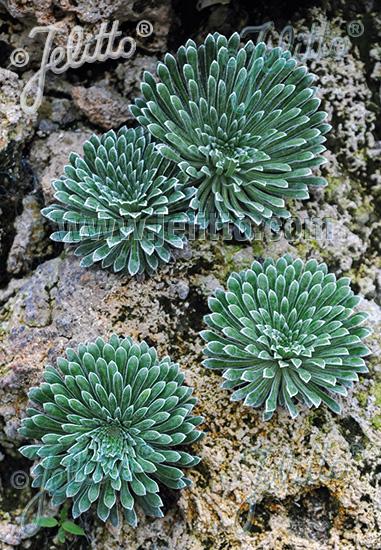 SAXIFRAGA longifolia   Portion(en)