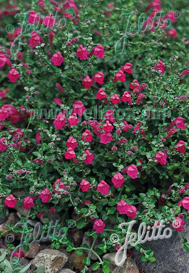 SCUTELLARIA suffrutescens  'Cherry Skullcap' Portion(s)