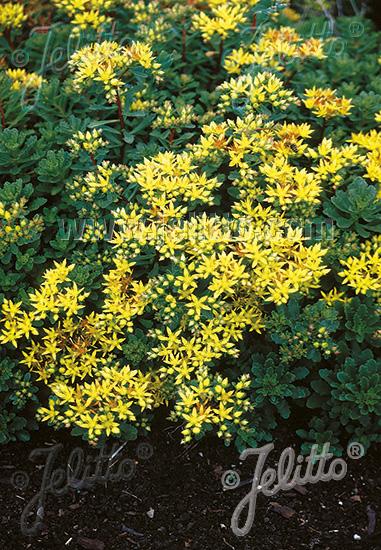 SEDUM floriferum   Portion(en)